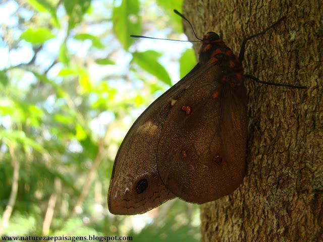 Resultado de imagem para imagens de borboletas marrons e amarelas