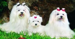 Blog De Perros Miniaturas El Bichón Maltés Cuidados Y