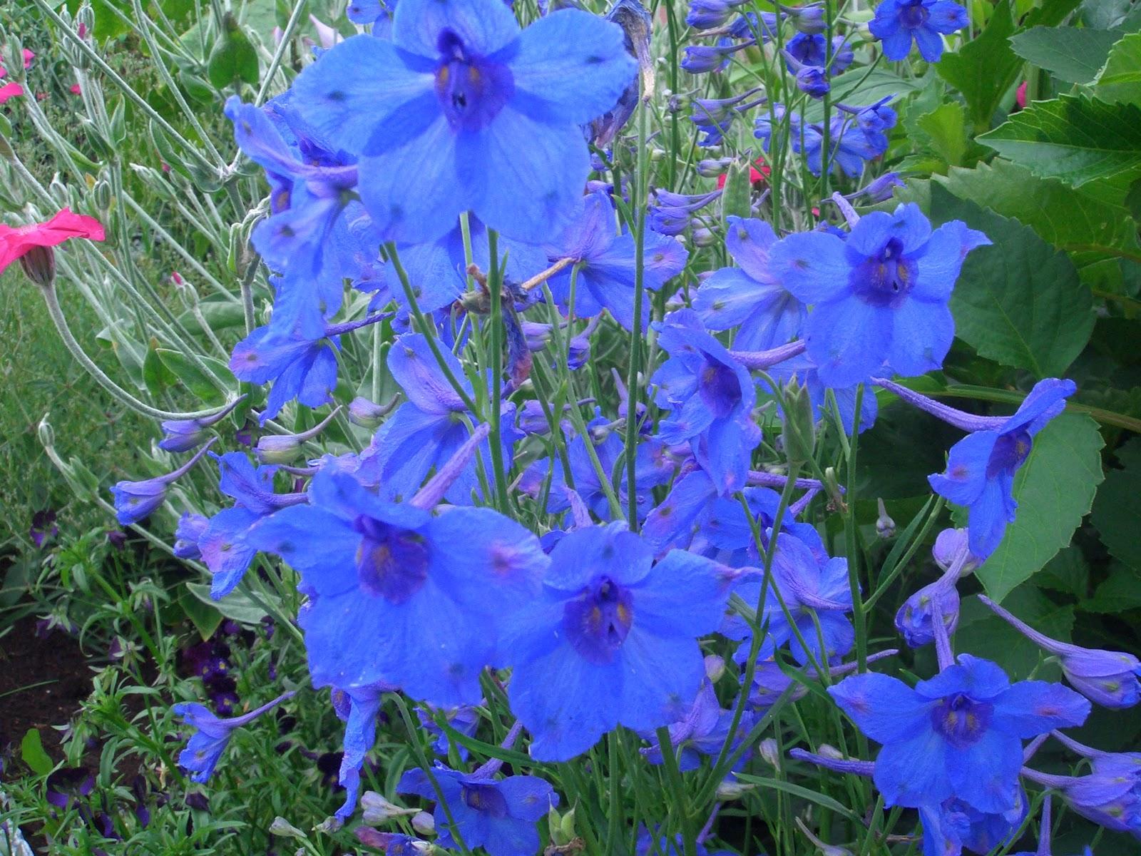 Mine planter: Delphinium grandiflorum 'Dwarf Blue ...