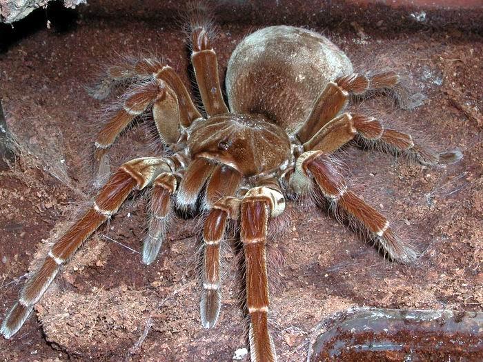 Scientific Goliath Name Eating Bird Spider