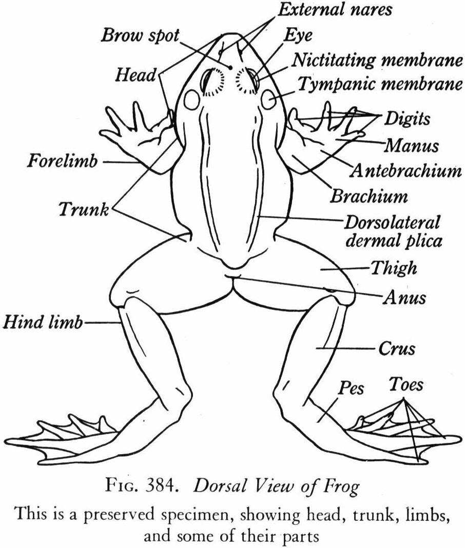 amphibians: CHARACTERISTICS OF AMPHIBIANS
