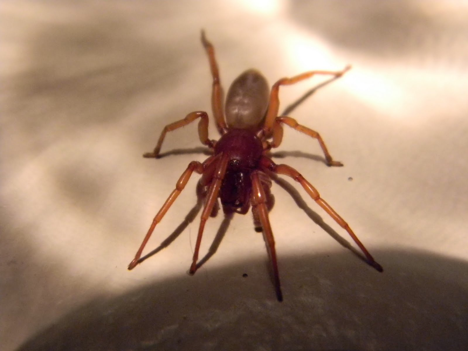 Woodlouse Hunter Michigan Spiders