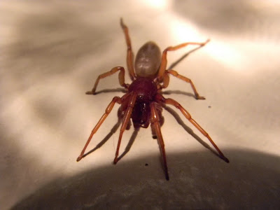 Michigan Spiders - Woodlouse Hunter-2