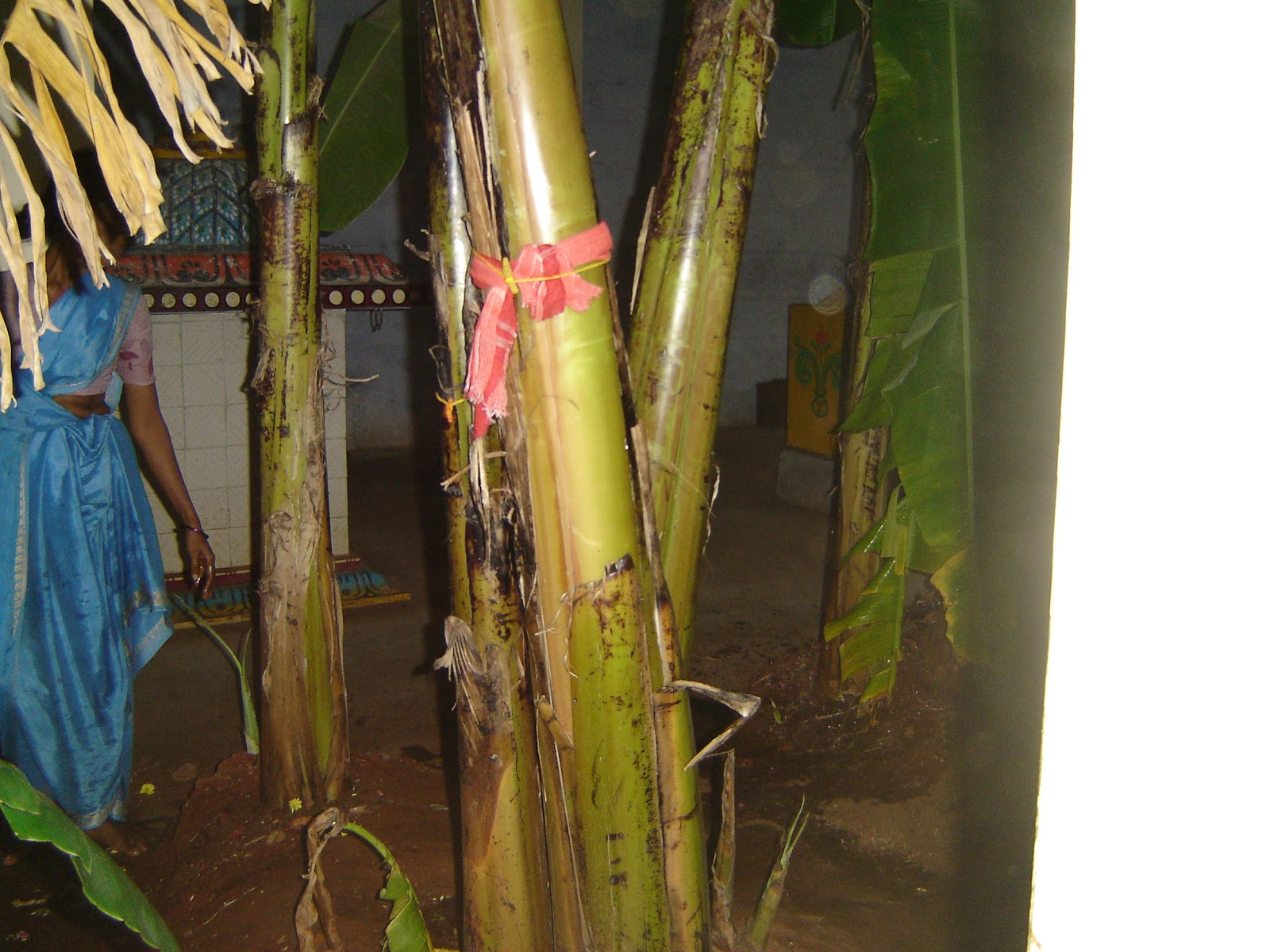 The Plantain trees at the temple