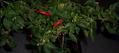Naga Jolokia Chili Mutterpflanze