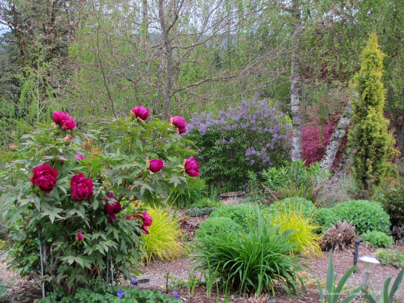 Voice in the garden chinese tree peony paeonia suffruticosa - Growing peonies in the garden ...