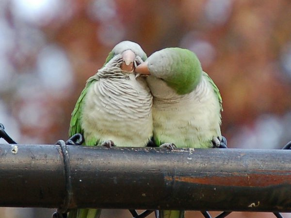 How do birds mate - photo#52