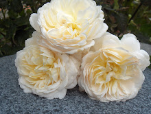 Crocus Rose Austinros
