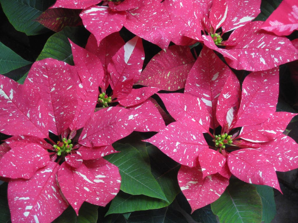 Retro Kitchen Canisters Types Of Poinsettias 28 Images File Poinsettia
