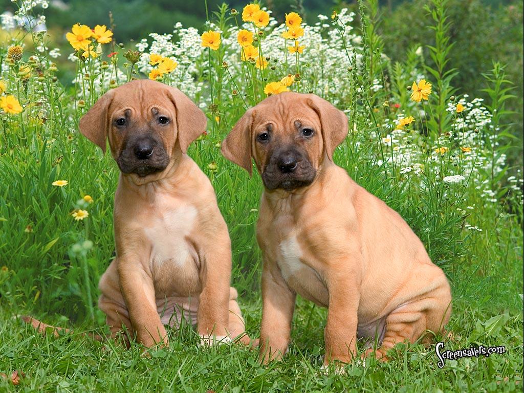 Saint Cute Puppy Hd Wallpaper Sri Lankan Dog Lovers Picture Gallery 3