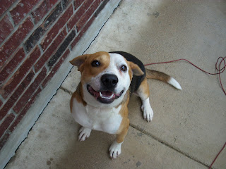 Satx Rescue This Is Sam The Beagle Terrier Mix