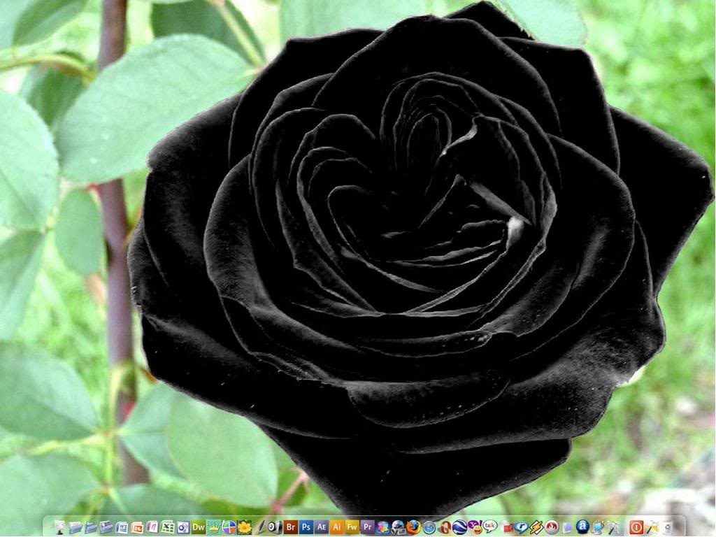 ROSES: Black Roses
