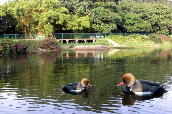 josemouri estanque de patos de mi jardin