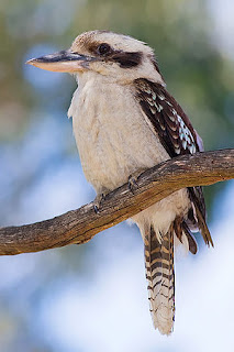 My Muscovy Ducks Tale: Bird Sounds Like A Monkey???
