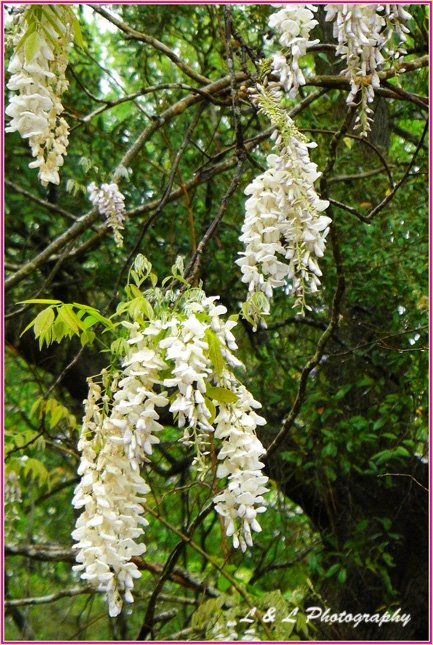White Flowering Tree Bush