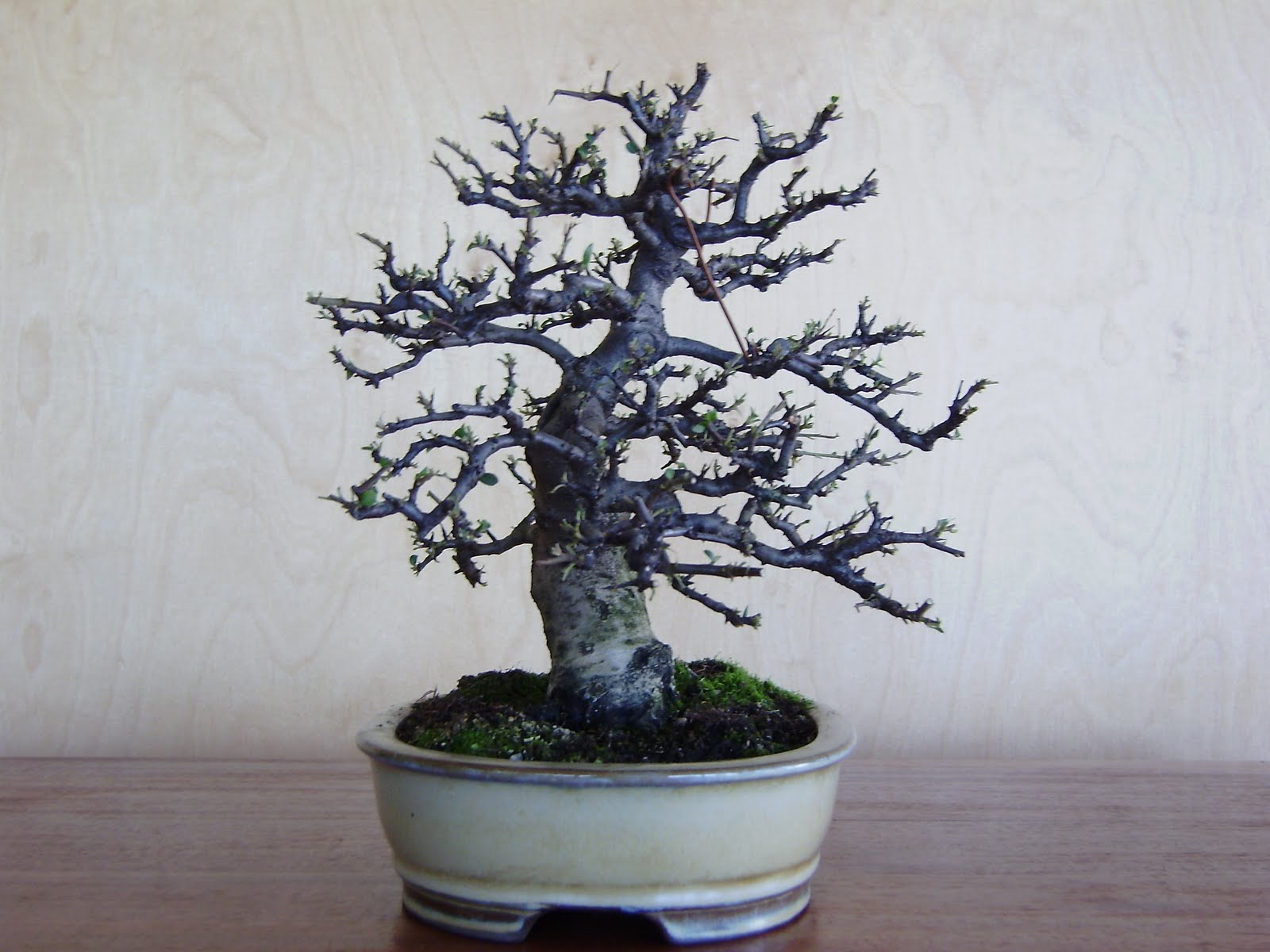 Blogjardimdebonsai Pyracantha Angustifolia