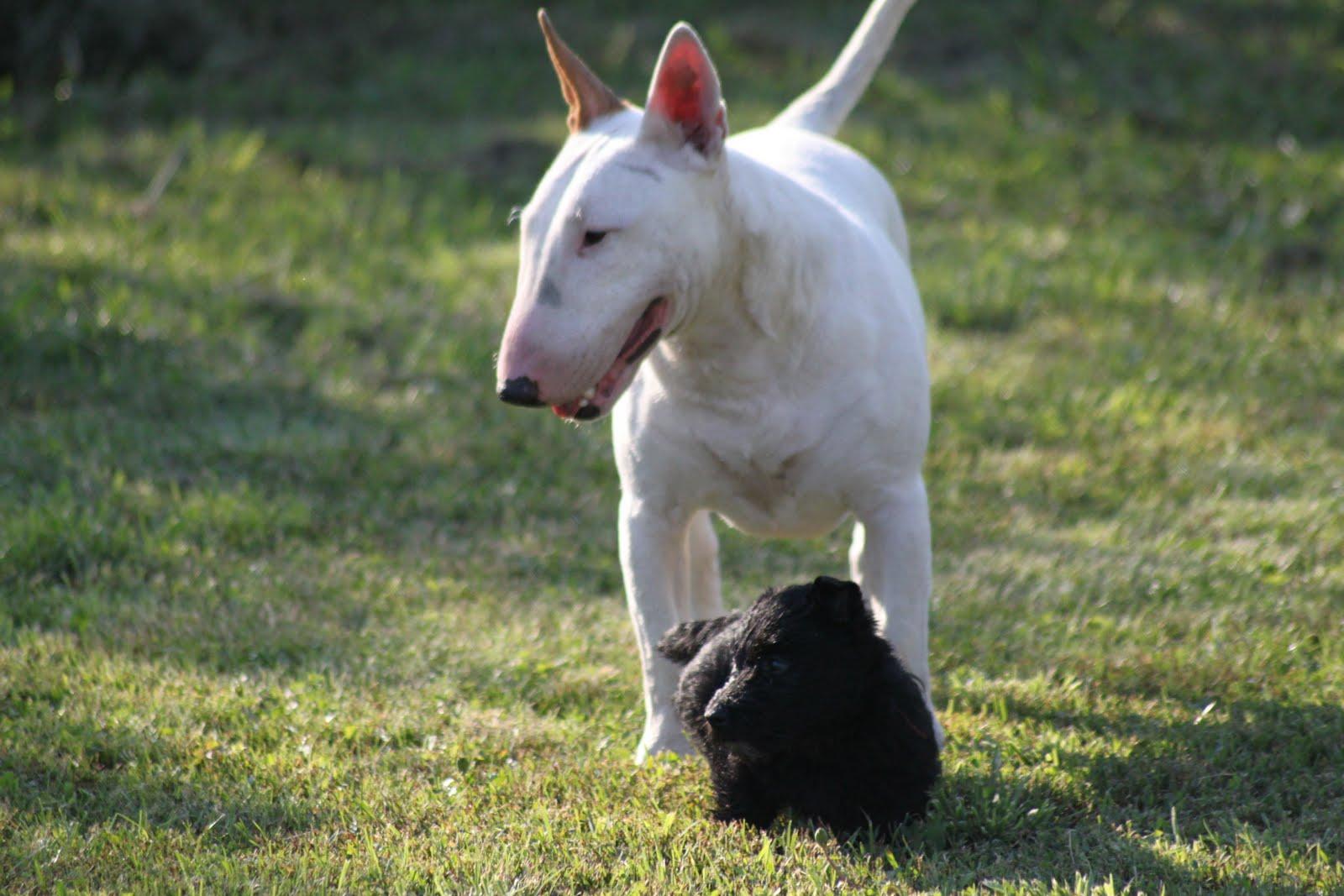 Bullterrier látvány