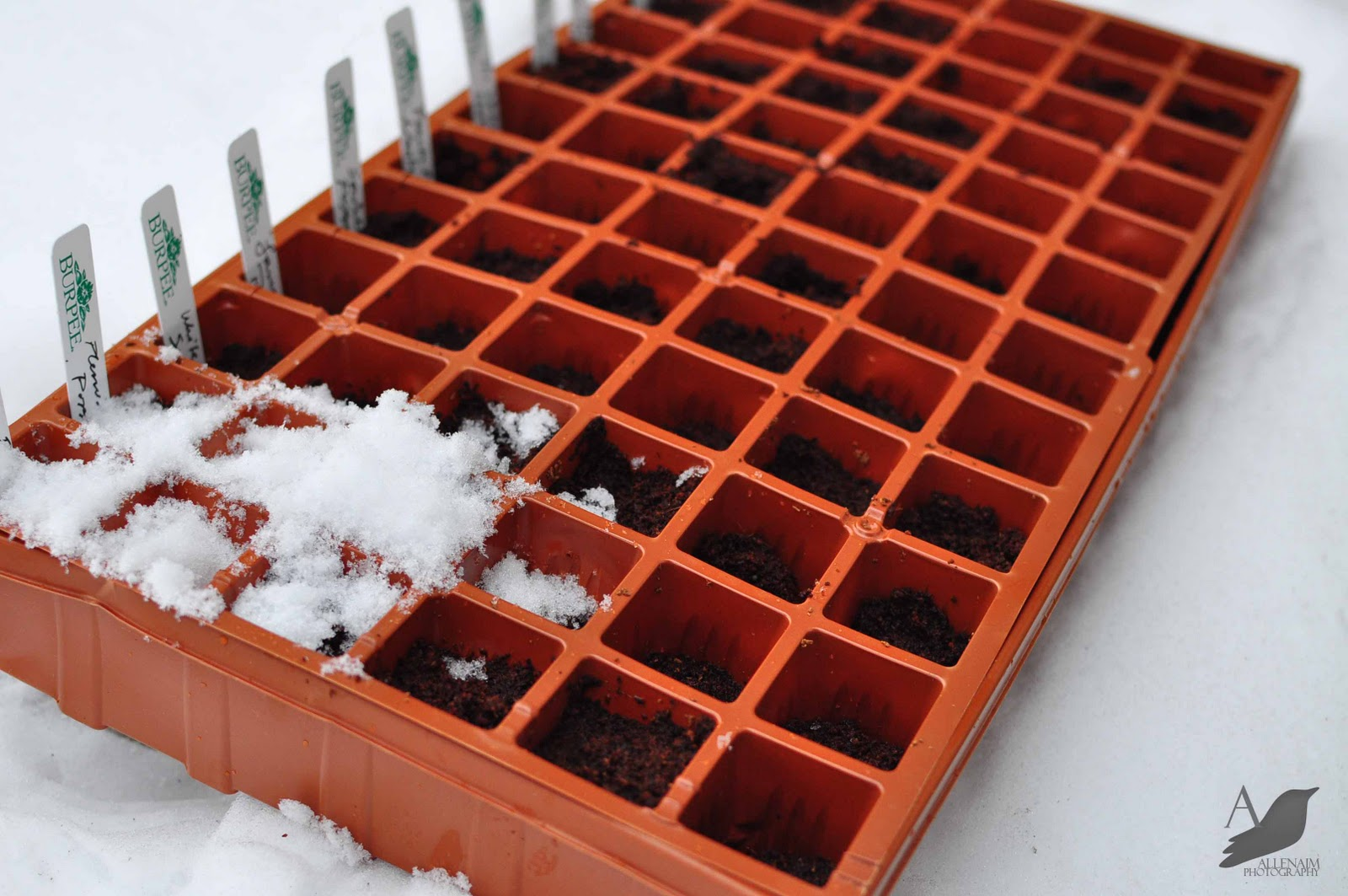 How to Winter Sow Seeds in the Snow