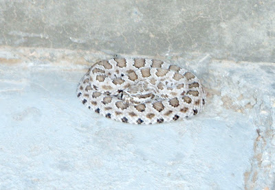 farm animals, baby rattlesnake