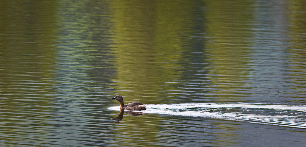 NZ dabchick, Pohangina wetlands