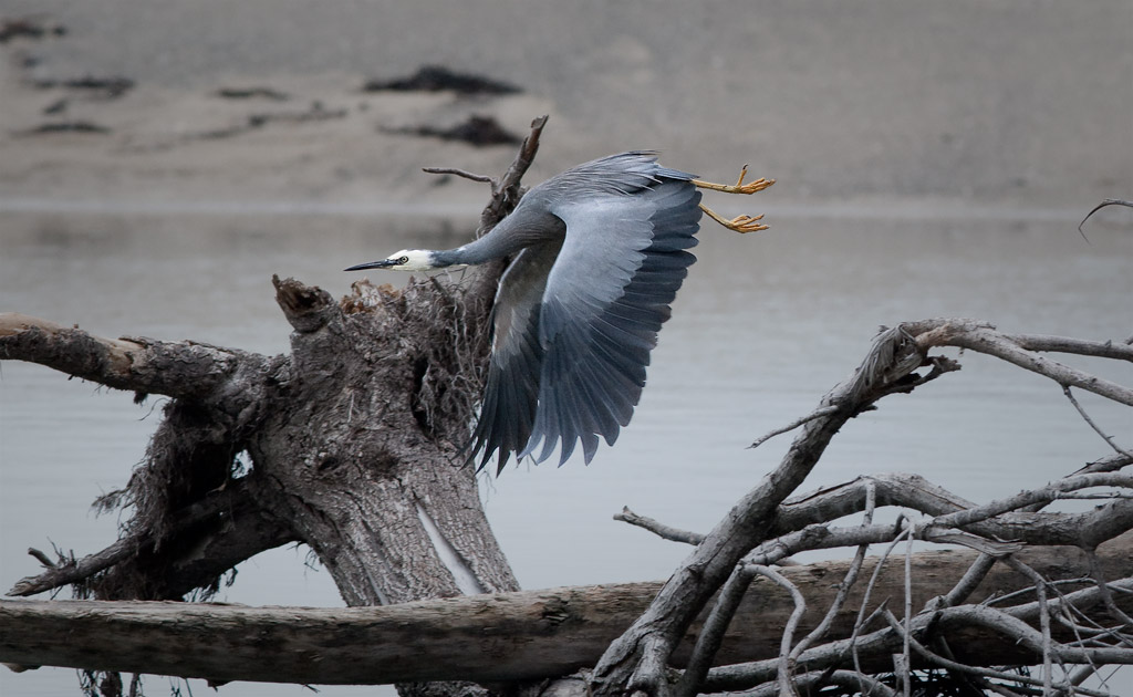 Whitefaced heron