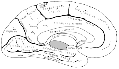 MEDICAL FACTS AND MCQ'S: Sulci and Gyri of Brain