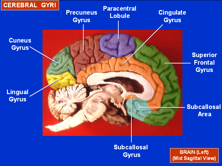 Human anatomy mcqs postgraduation entrance preparation 57 sulci lesion in the wernickes aphasia supramarginal gyrus of the parietal lobe and upper part of temporal lobe ccuart Image collections