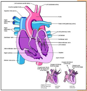 Sekar's science world: Anatomy of the Human Heart