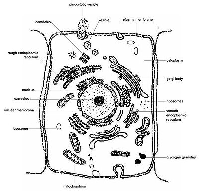 basic animal cell diagram with labels