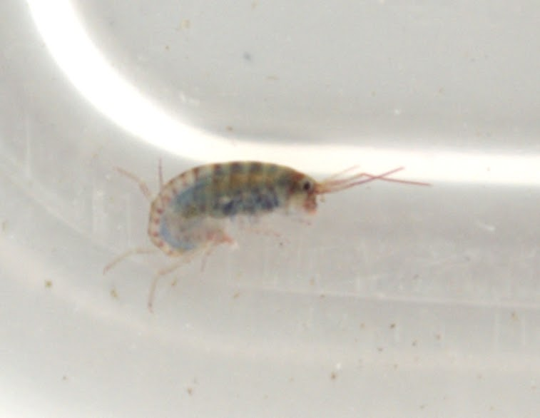 Am I Bugging You Yet Attack Of The Amphipods