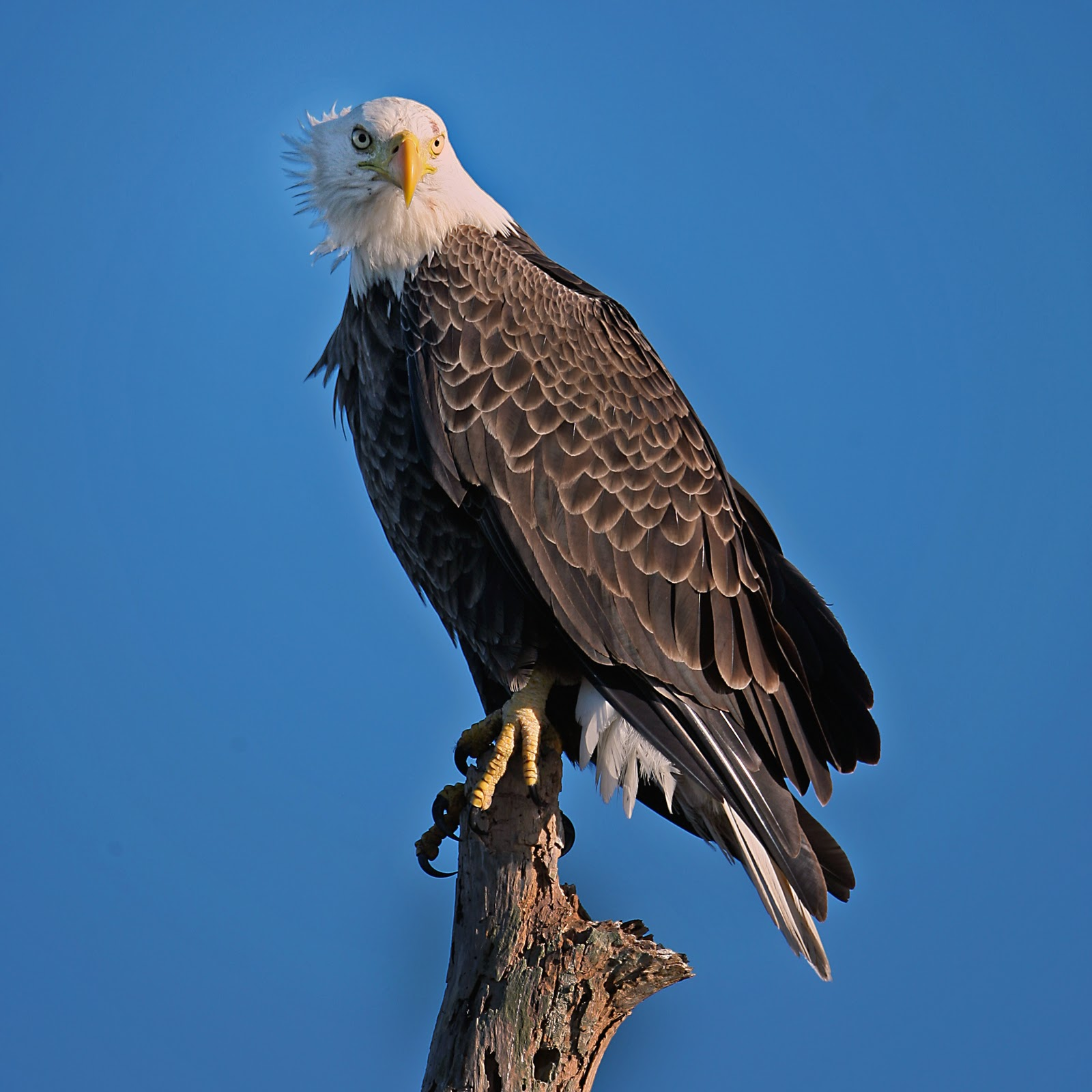 what does the bald eagle symbolize in america