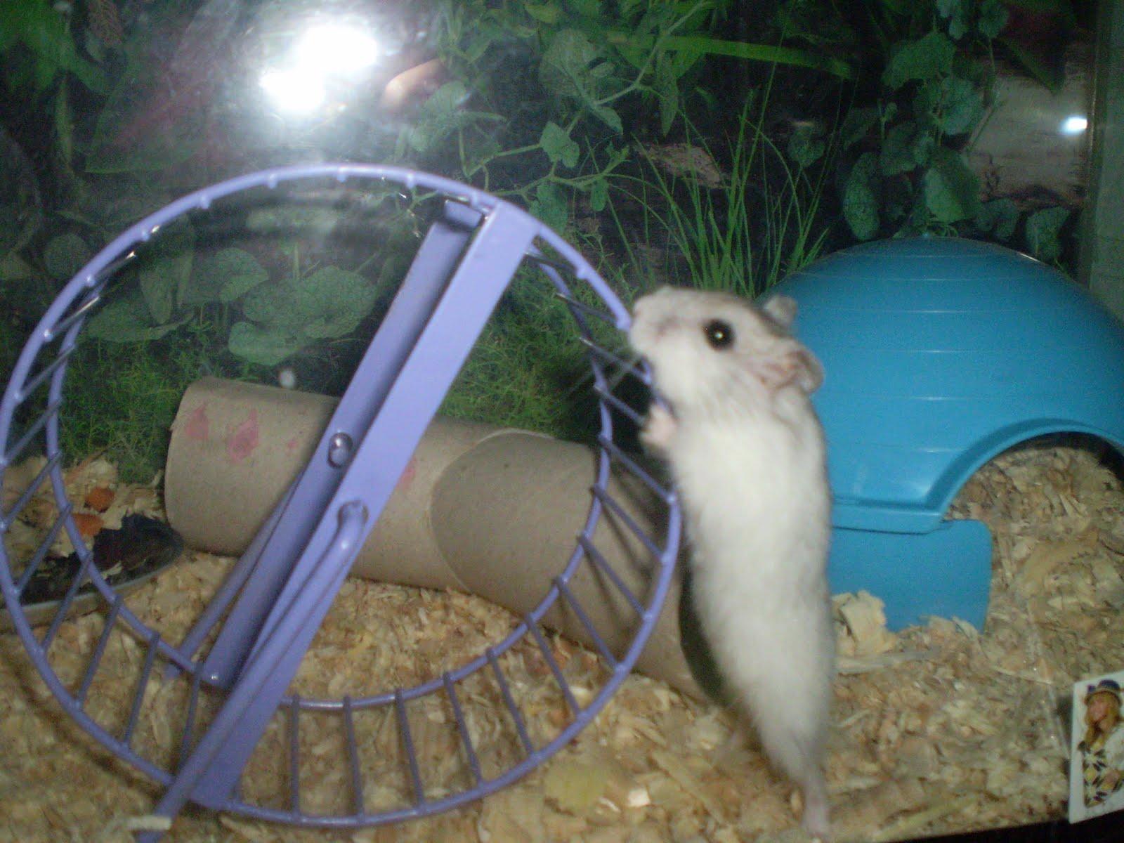 de ce a pierdut hamsterul meu folosind cele inteligente pentru a pierde în greutate