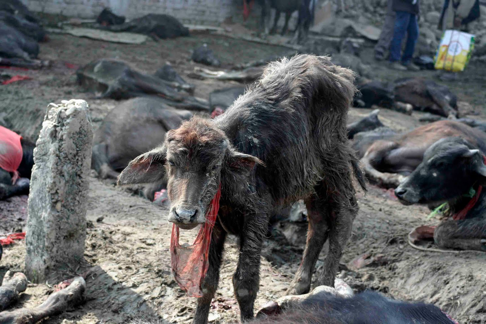 Stop the World's Largest Animal Sacrifice: Campaigners ...
