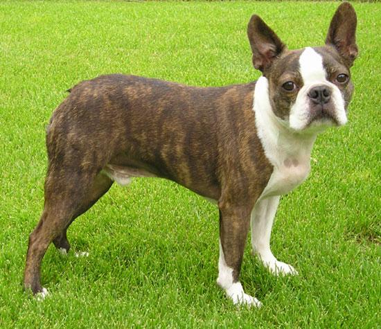 Boston Mania: Desireable Colors Of A Boston Terrier