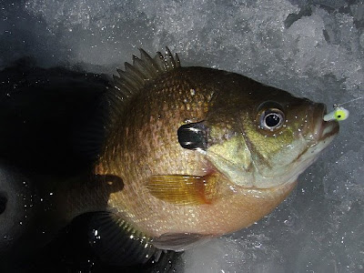 iced+sunfish.jpg