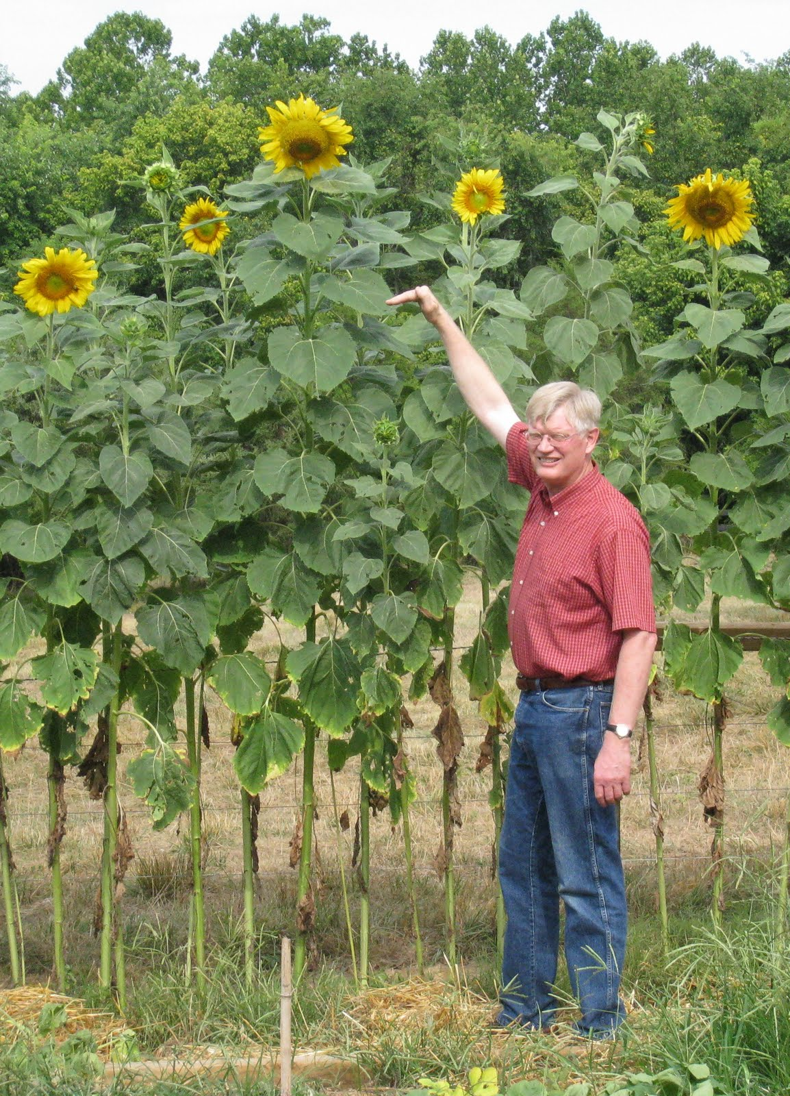 Backyard Farming Sunflowers