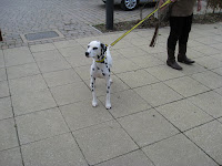 Dalmatian being walked at Dogs Trust London