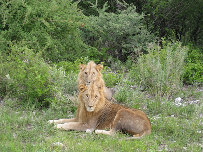 Lions in Etosha National Park in Namibia