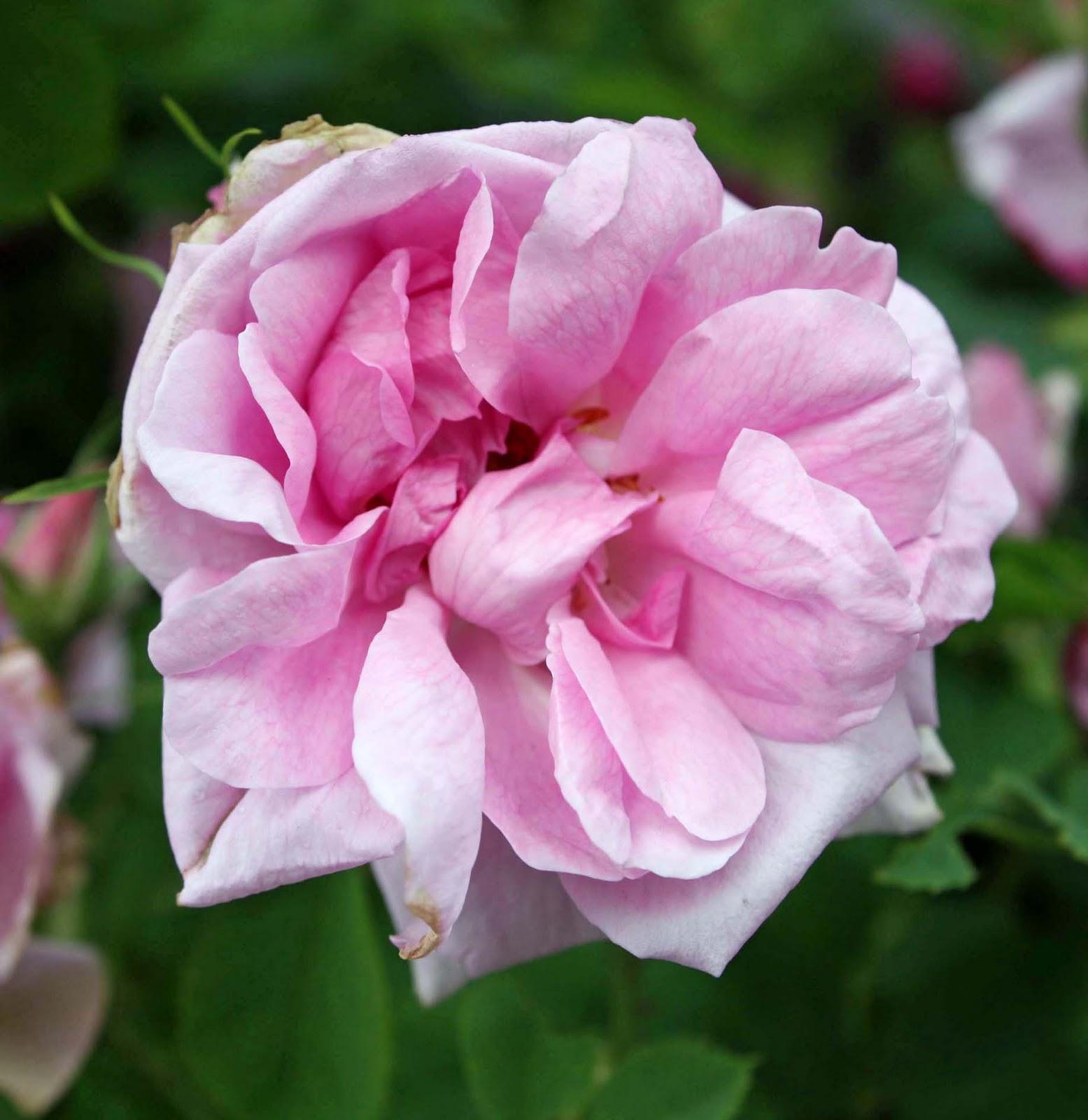 Roseidar Rosa X Centifolia Muscosa Og Rosa X Portlandica