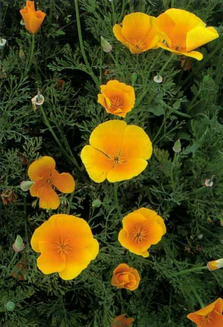 California Poppy A