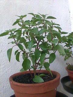 Plantando Manjericão Fresco