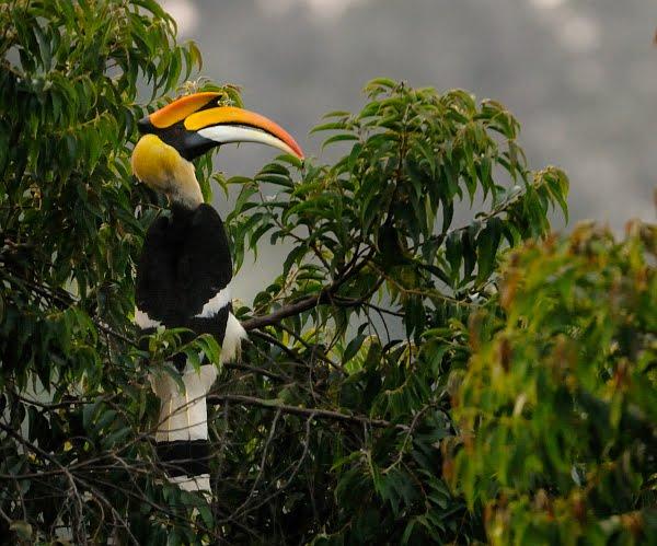 burung enggang simbol kedewataan dalam budaya kalimantan corner alvan rh webalfani blogspot com