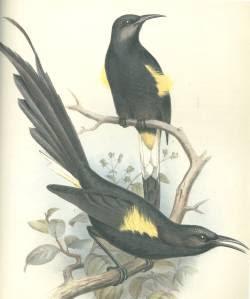 O´o hawai´i Moho nobilis aves extintas de islas del Oceano Pacifico Hawaii