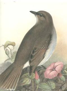kamao Myadestes myadestinus aves de Hawaii en peligro de extincion