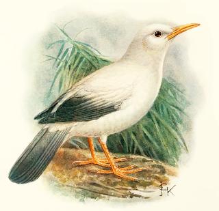 estornino de Rodrigues Necropsar rodericanus