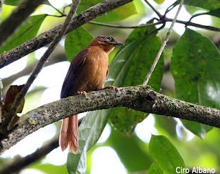 ticotico de Alagoas Philydor novaesi aves de Brasil en extinción