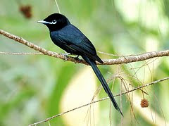 monarca paraiso Terpsiphone corvina hawaian islands birds in extinction