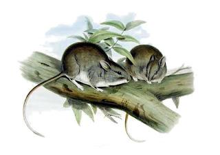 rata pequeña de los palos Leporillos aplicalis