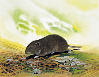 raton de Bavaria Microtus bavaricus