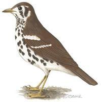 tordo manchado Geokichla guttata aves de africa en peligro de extincion